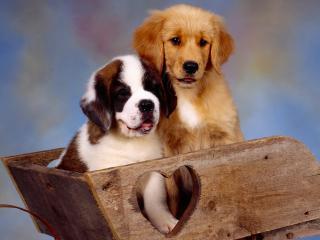 обои для рабочего стола: Собачки в деревянной тачке