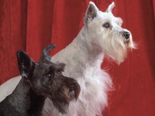 обои для рабочего стола: Черная и белая собаки на красном фоне