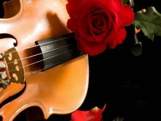 обои Скрипка с розой фото