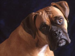 обои для рабочего стола: Жалобный взгляд собаки