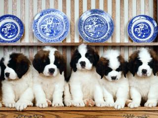 обои для рабочего стола: Белые собачки с черными ушами сидят в ряд
