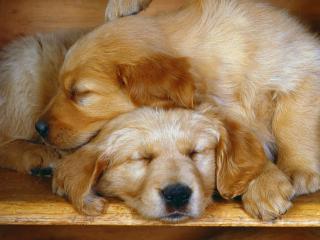обои Собаки спят положив головы друг на друга фото