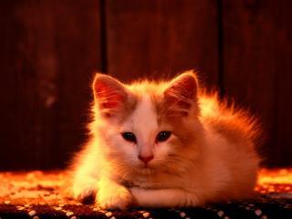 обои Красно огненный котенок фото