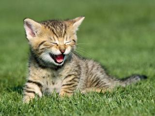 обои для рабочего стола: Котенок на травке зажмурился и открыл пасть