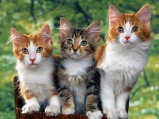 обои Три жалобных котенка фото