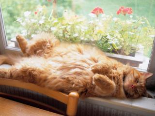 обои Рыжий кот спит на подоконнике фото