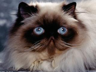 обои для рабочего стола: Пушистый сиамский кот с синими глазами