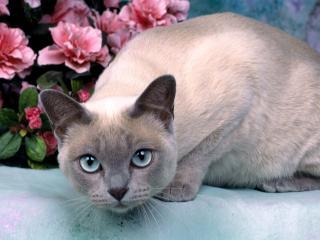 обои для рабочего стола: Сиамский кот настораживающий взгляд
