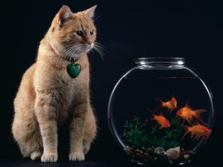 обои Рыжий кот возле аквариума на черном фоне фото