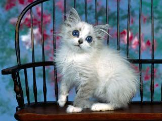 обои Котенок на стуле с синими глазами фото