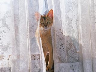обои для рабочего стола: Кот на подоконнике смотрит из под занавесок