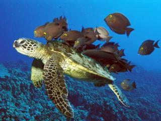 обои Черепаха с друзьями фото