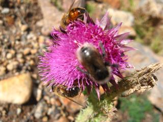 обои для рабочего стола: Горные пчелы