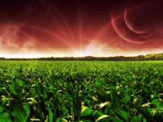 обои Кукурузное поле фото