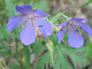 обои Два синеньких цветочка фото