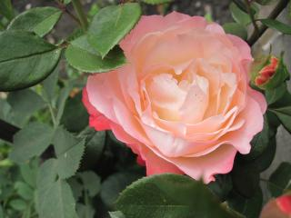 обои Бело-розовая красавица фото
