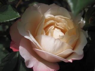 обои Кремовая красавица роза фото