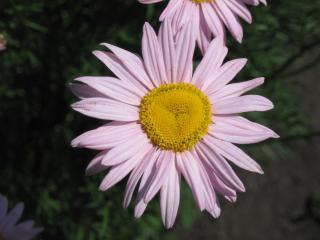 обои Розовый пиретрум фото