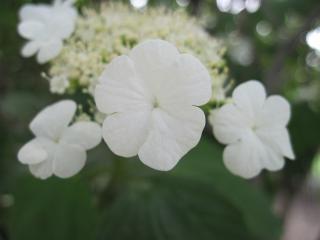 обои Цветок калины фото