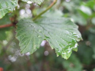 обои Капля дождя на листке фото