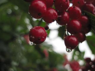 обои Капли дождя на ягодах фото