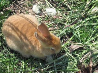 обои Рыжий кролик фото