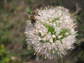 обои Пчела на луке фото