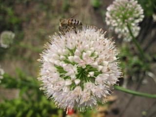 обои Лук и пчела фото