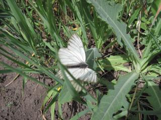обои Белая бабочка фото