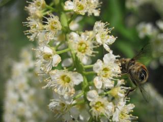 обои для рабочего стола: Пчела на черемухе