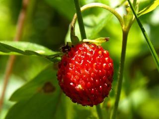 обои Сочная ягодка фото