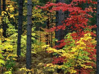 обои Багряное дерево фото