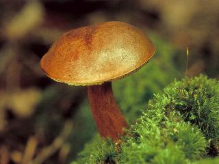 обои Рыжий гриб  и мох крупным планом фото