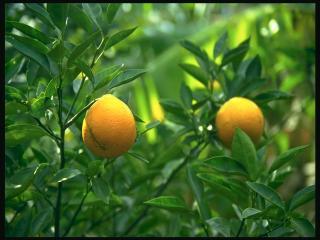 обои Ветви лемонного дерева с плодами фото