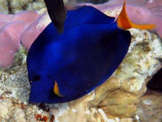 обои Синяя син рыбка в море фото