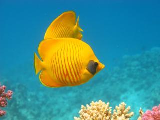 обои Золотые рыбки и кораллы фото