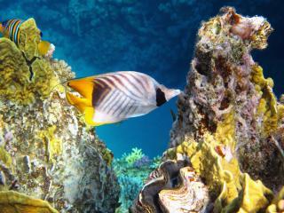 обои Золотая рыбка среди кораллов фото