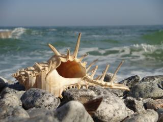 обои Ракушка на камнях пляжа фото
