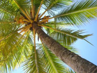 обои Кокосовая пальма с плодами фото