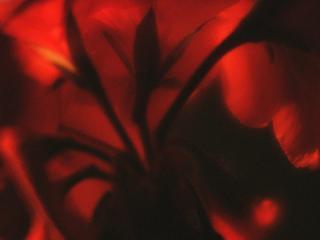 обои Ярко красный цветок