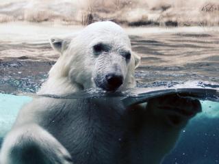 Медведь рычащий фото