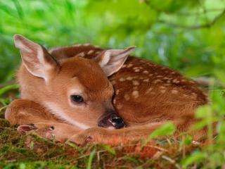 обои Оленёнок в траве фото