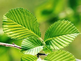 обои Зеленые листочки фото