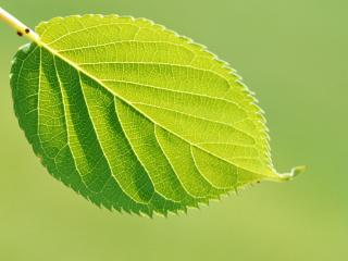 обои Зеленый листок дерева фото