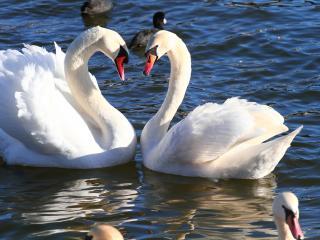 обои Черные утки белые лебеди фото