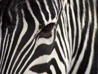 обои Взгляд зебры фото