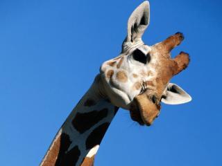 обои Жираф фото