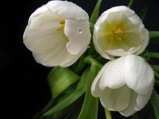 обои Распустившиеся тюльпаны фото