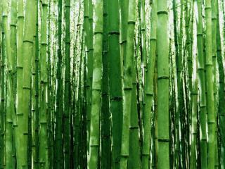 обои Бамбуковый лес фото