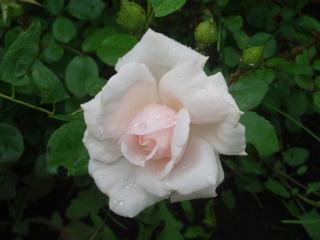 обои Чайная роза фото
